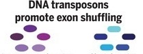DNA transposons promote exon shuffling
