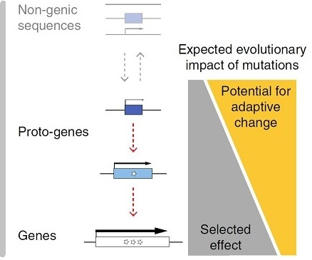 De novo emergence of adaptive membrane proteins from thymine-rich genomic sequences