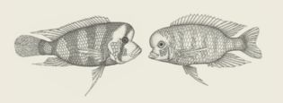 Cichlids from Lake Tanganyika (left) and from Lake Malawi (right)