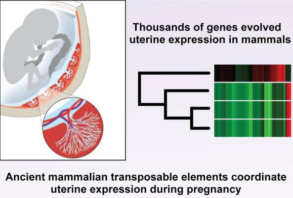 thousands of genes evolved uterine expression